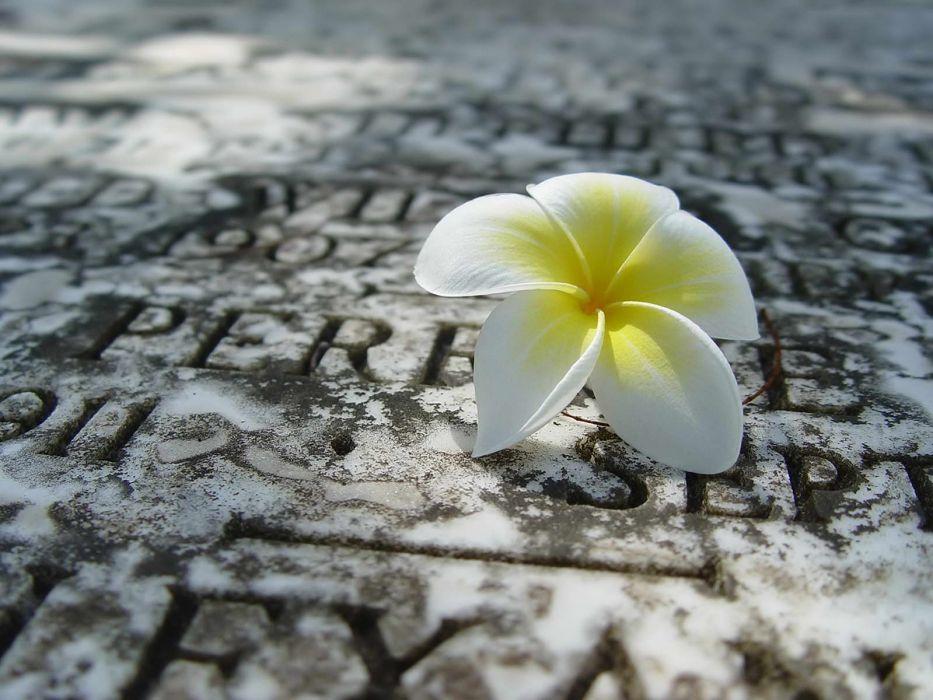 flowers white flowers plumeria wallpaper
