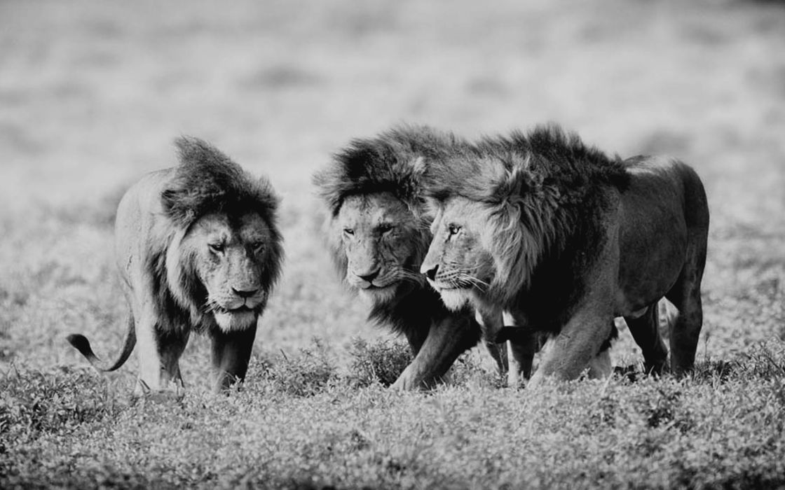 nature animals grayscale lions wild wallpaper