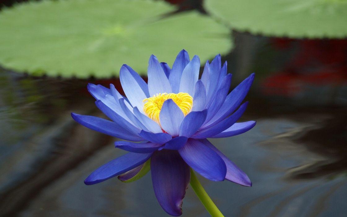 flowers macro lotus flower blue flowers wallpaper