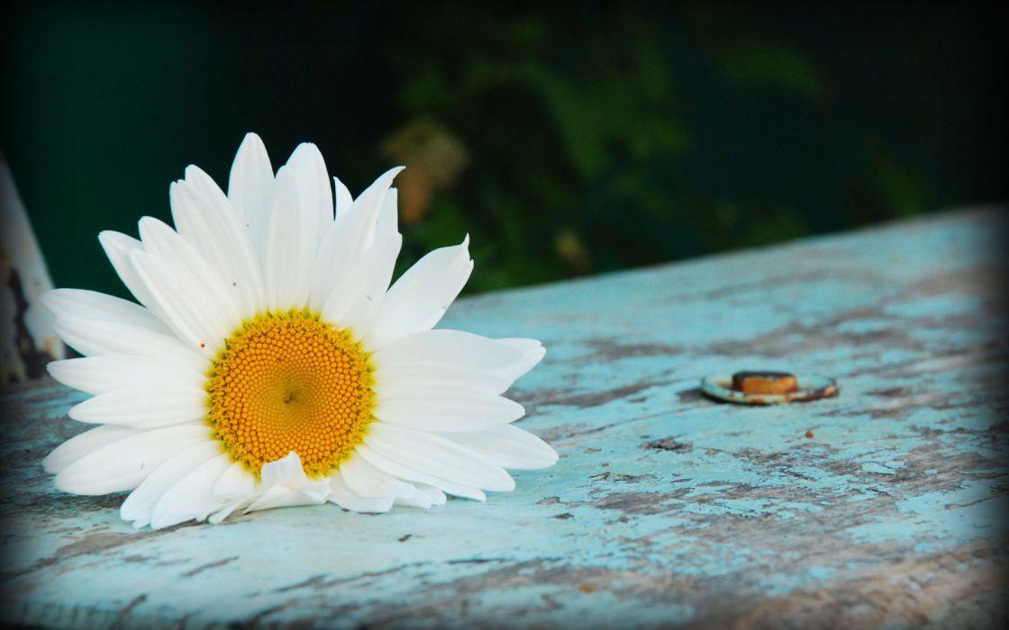 flowers white flowers wallpaper