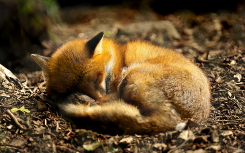 nature red animals sleeping foxes wallpaper