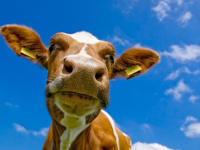 animals cows wallpaper