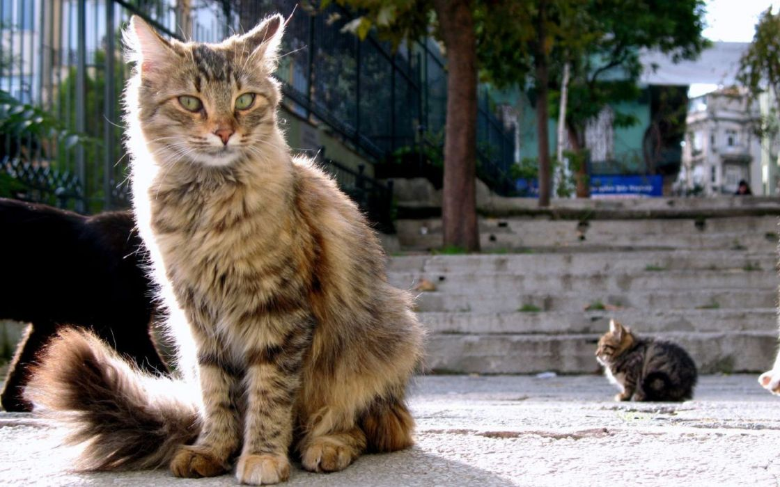 cats fluffy Istanbul wallpaper