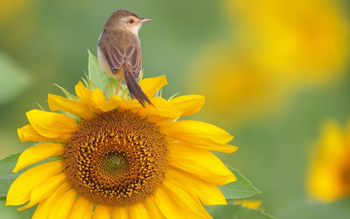 nature flowers birds sunflowers yellow flowers Warblers wallpaper