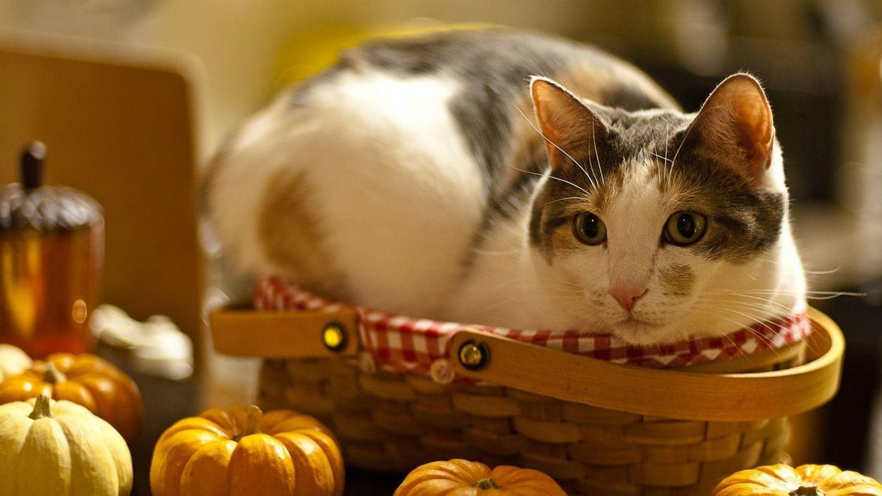 cats animals baskets wallpaper