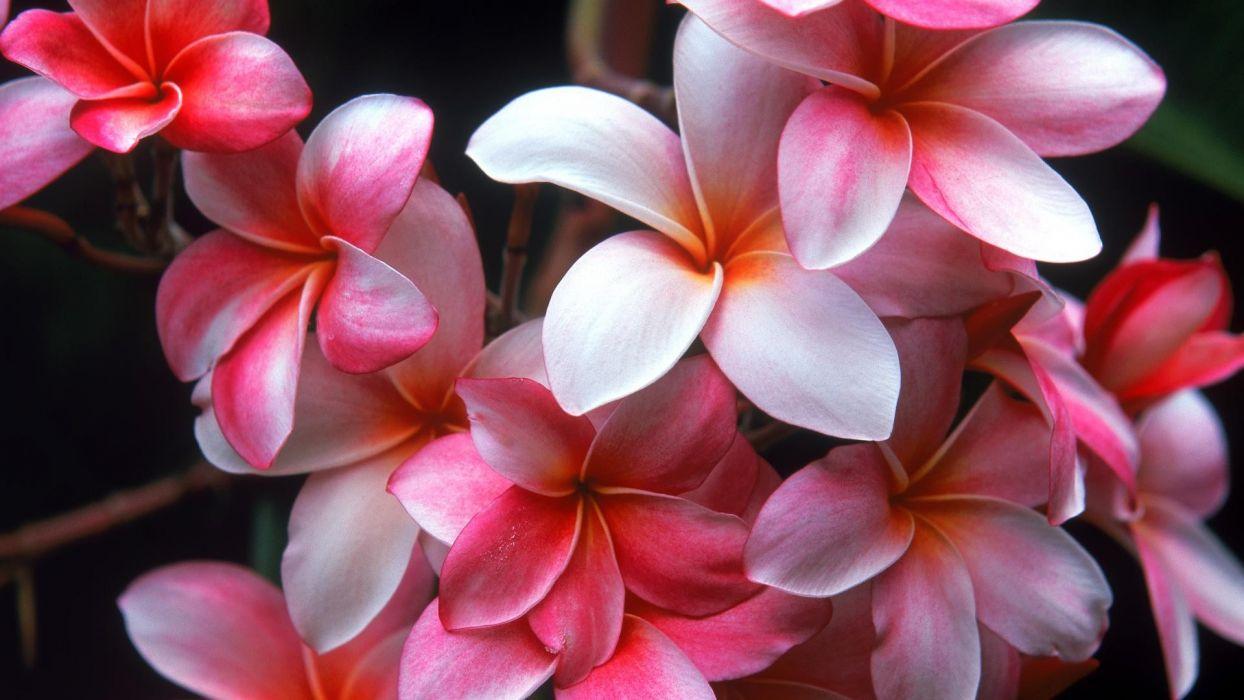 flowers plumeria wallpaper