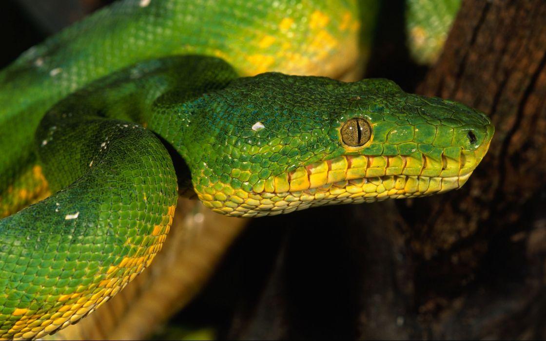 close-up snakes reptiles wallpaper