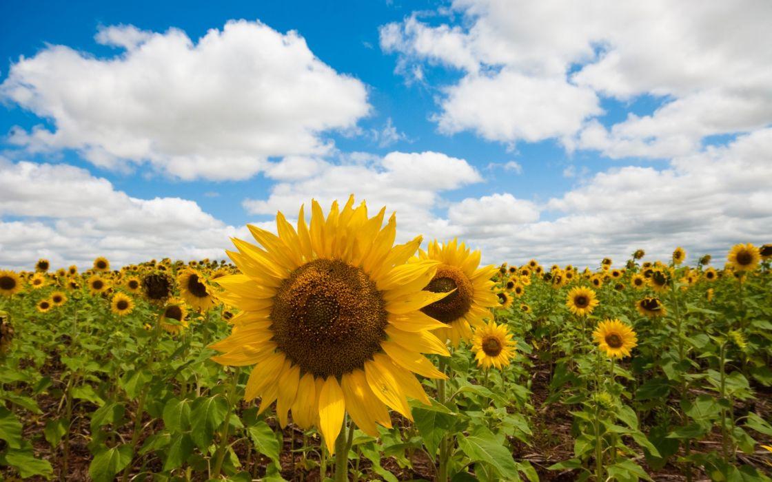 flowers fields sunflowers wallpaper