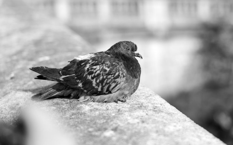 Paris birds grayscale pigeons sitting wallpaper