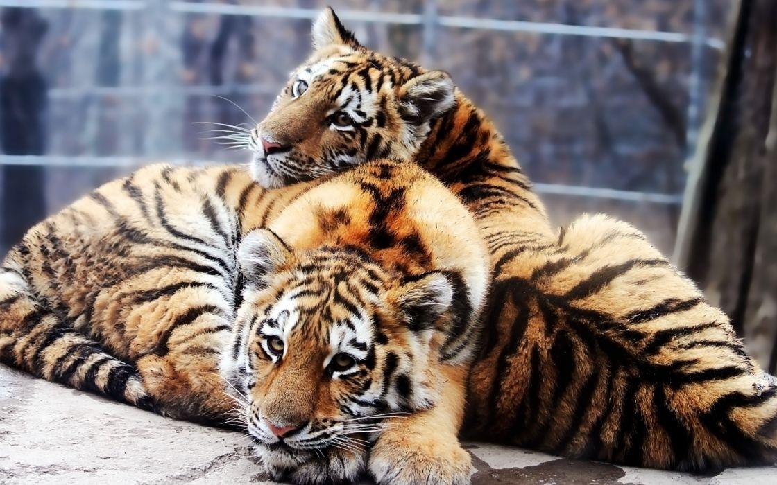 animals tigers feline duplicate wallpaper