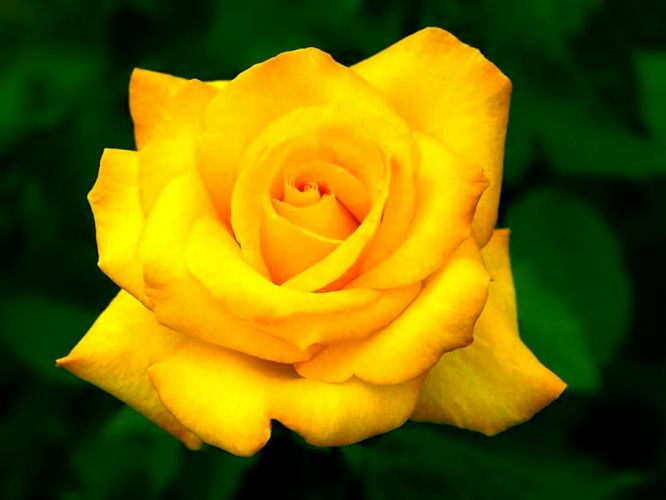 nature flowers plants roses yellow rose wallpaper
