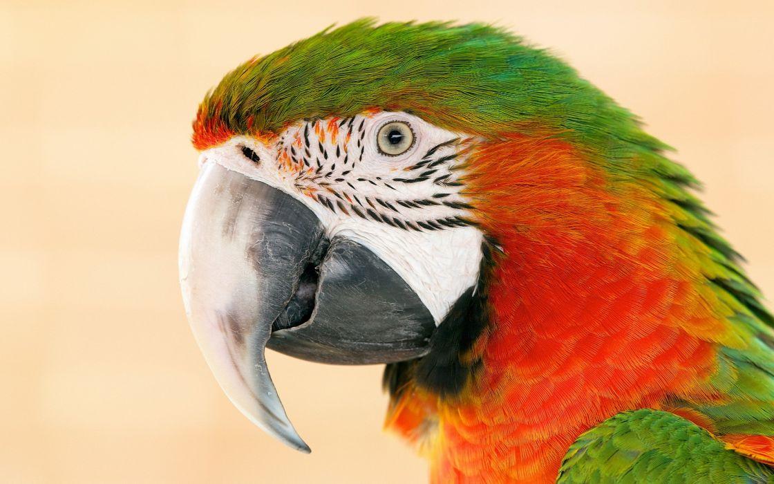 birds animals parrots wallpaper