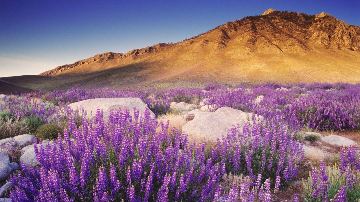 violet California Nevada range bushes Sierra wallpaper