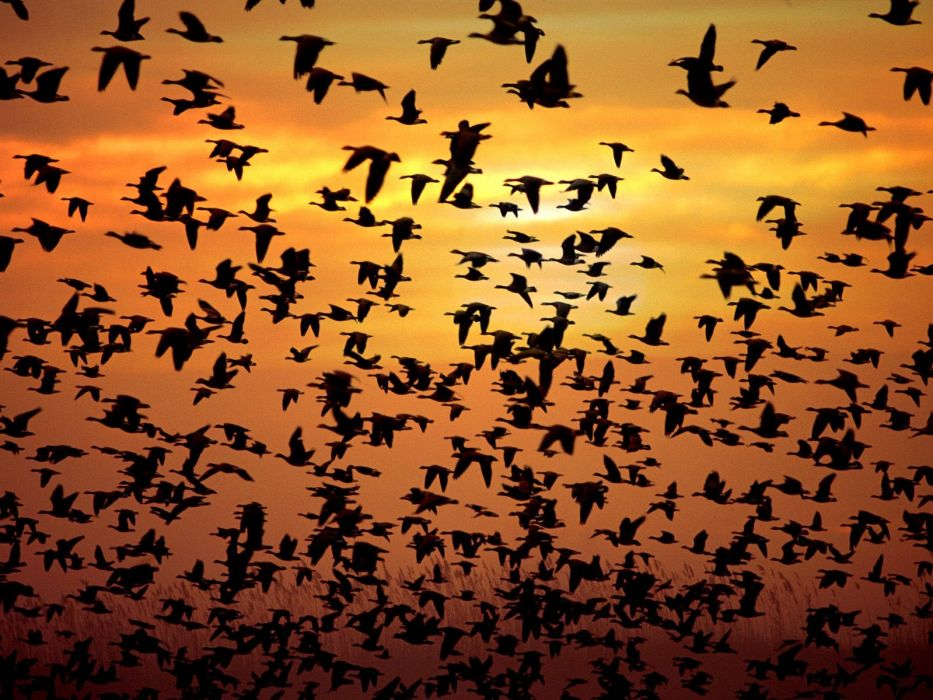 sunrise flying birds flock silhouettes skyscapes wallpaper