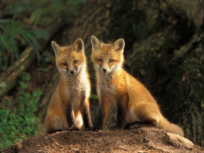 animals baby animals foxes wallpaper