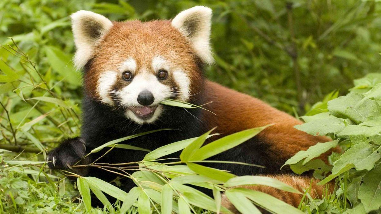 nature China animals bamboo red pandas eating wallpaper