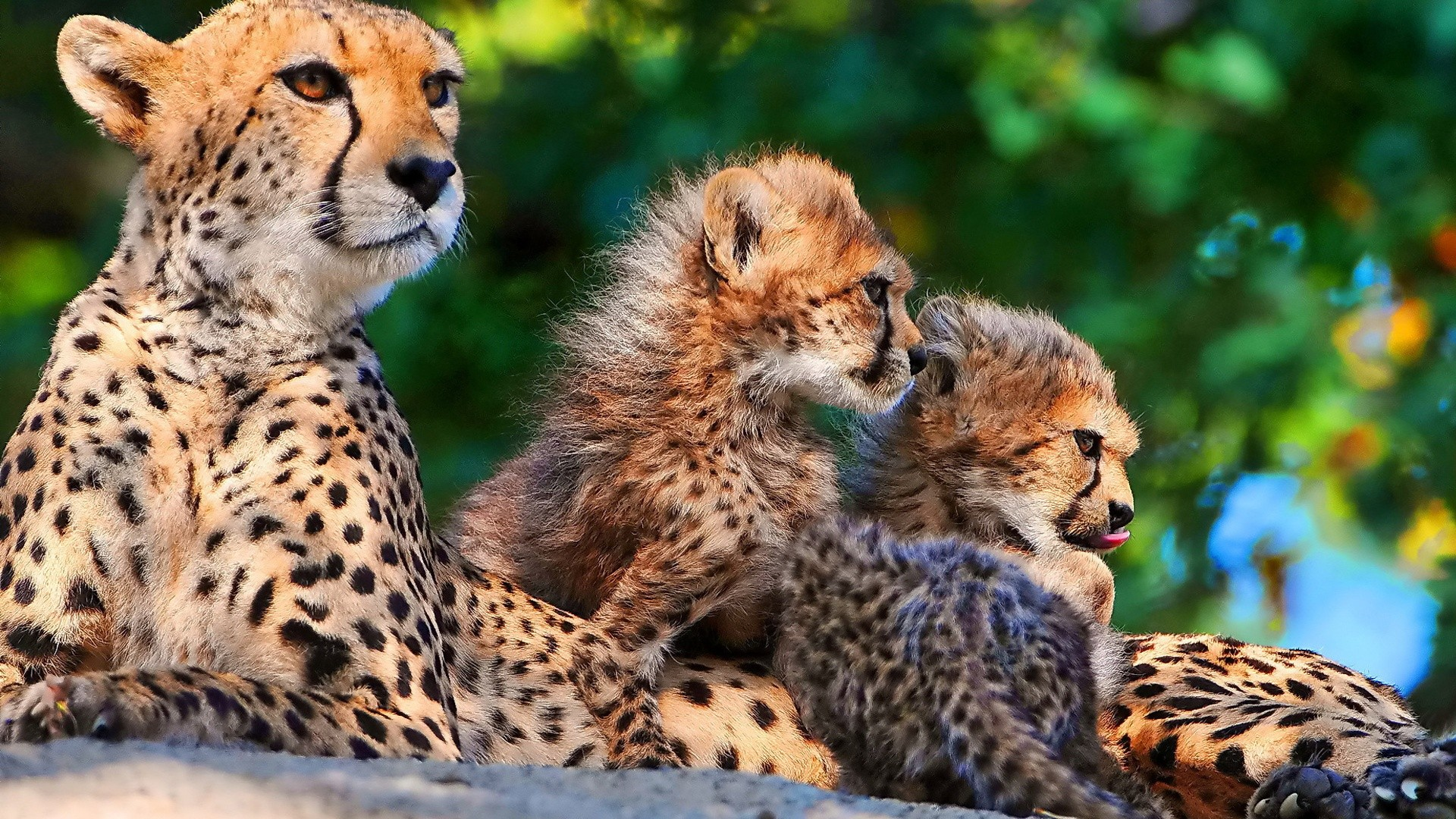 animals cheetahs wild animals big cats wallpaper | 1920x1080