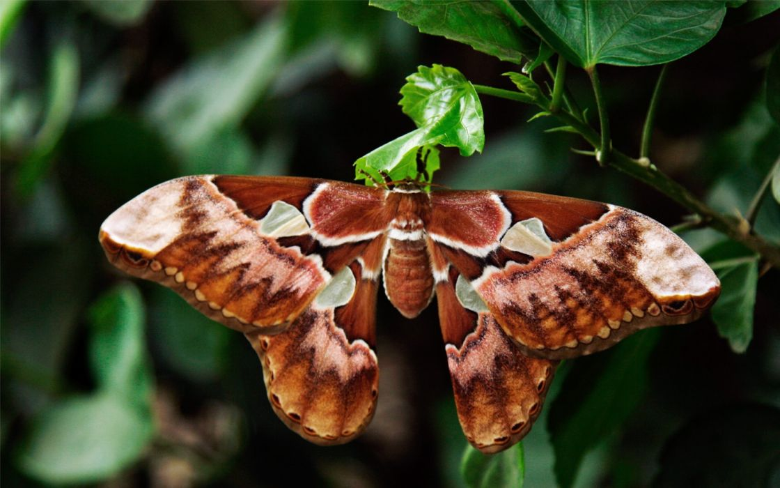 nature insects leaves moth plants atlas butterflies wallpaper