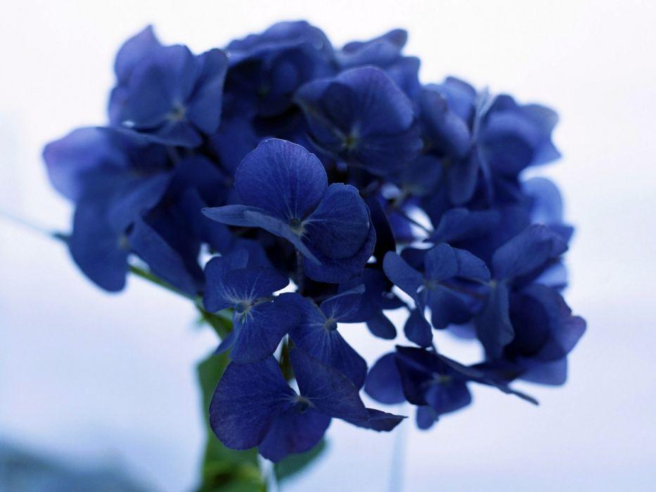 flowers blue flowers Hydrangeas wallpaper