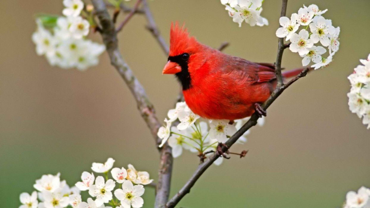 Birds Blossoms Cardinal White Flowers Northern Cardinal Wallpaper