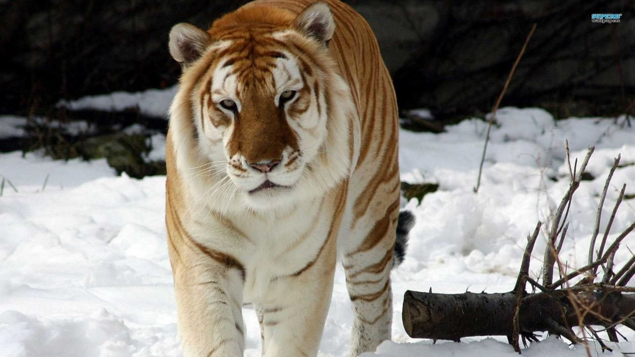 animals tigers golden mammals wallpaper