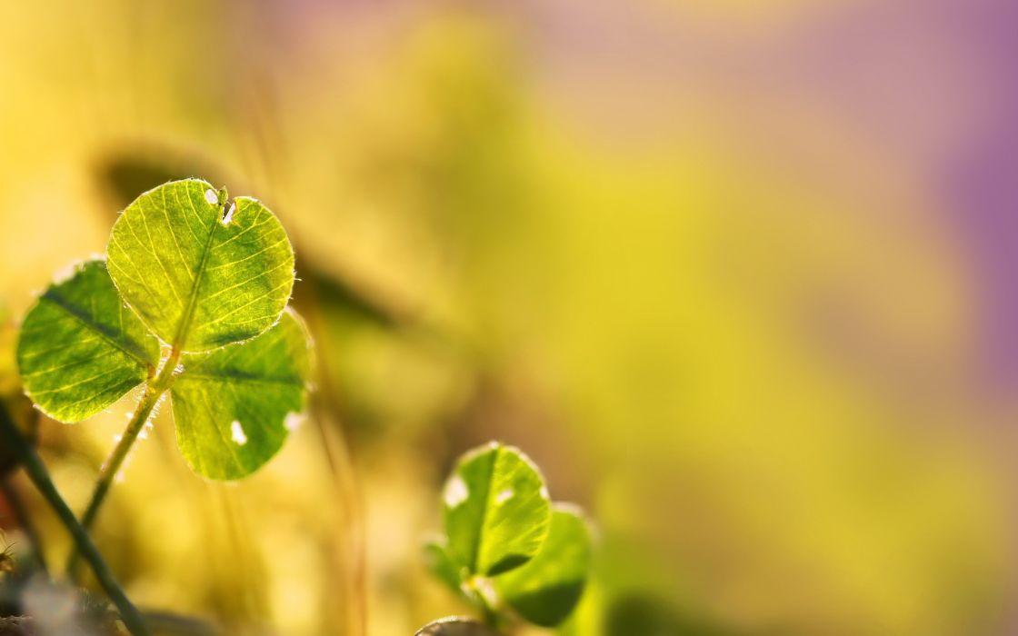 nature plants macro clover wallpaper