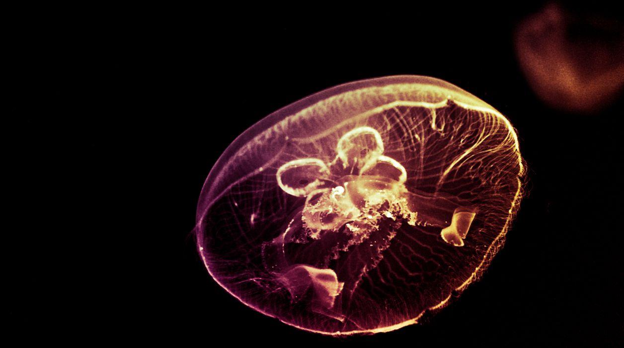 jellyfish underwater ocean sea bokeh jelly (1) wallpaper