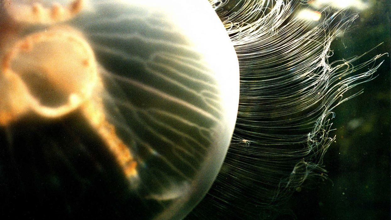 jellyfish underwater ocean sea bokeh jelly (10) wallpaper