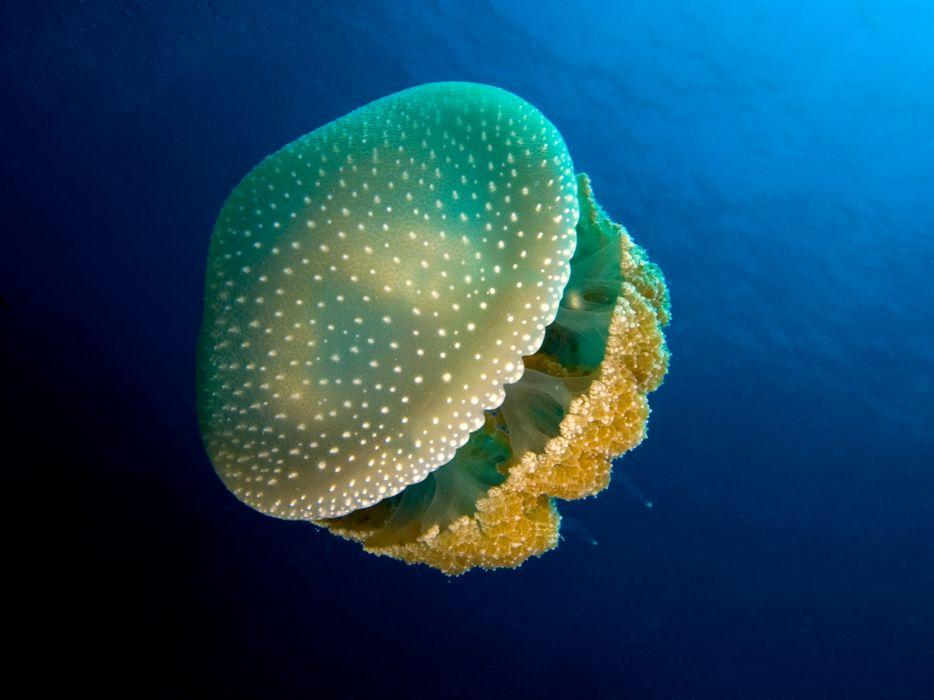 jellyfish underwater ocean sea bokeh jelly (20) wallpaper