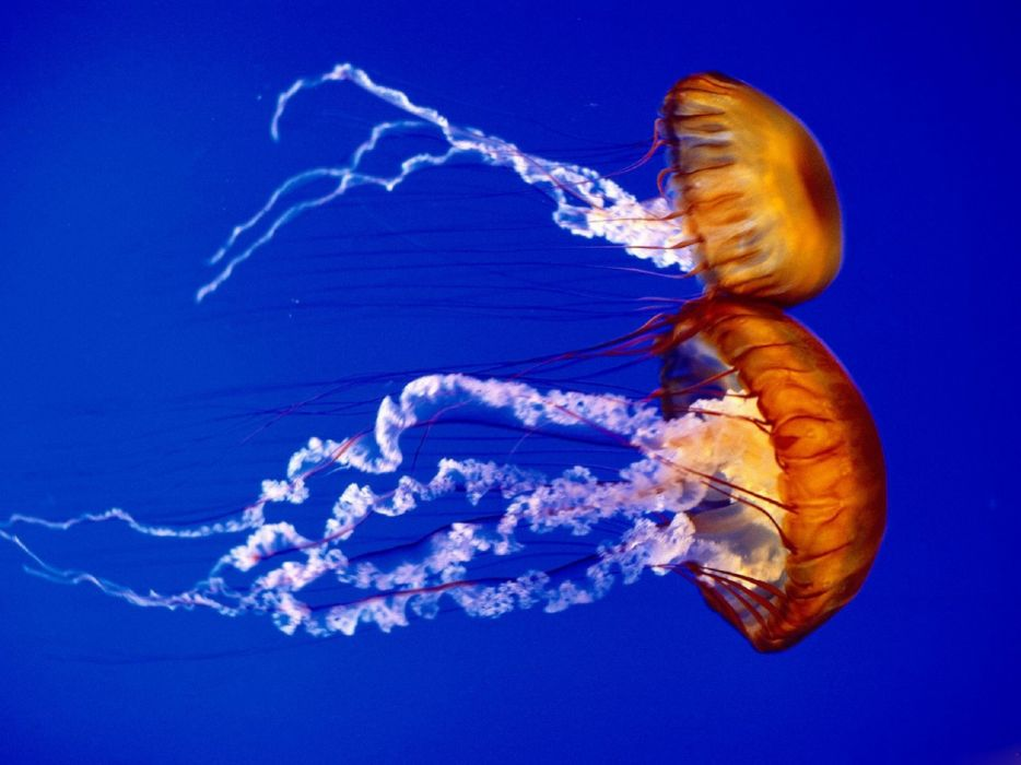 jellyfish underwater ocean sea bokeh jelly (40) wallpaper