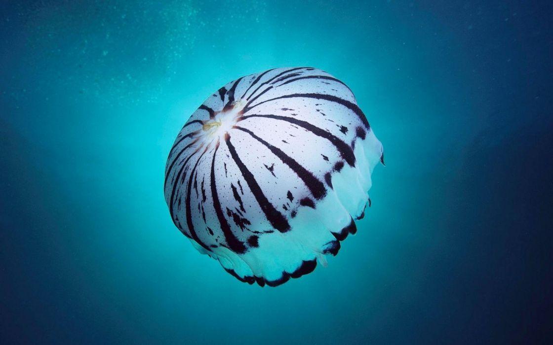 jellyfish underwater ocean sea bokeh jelly (71) wallpaper