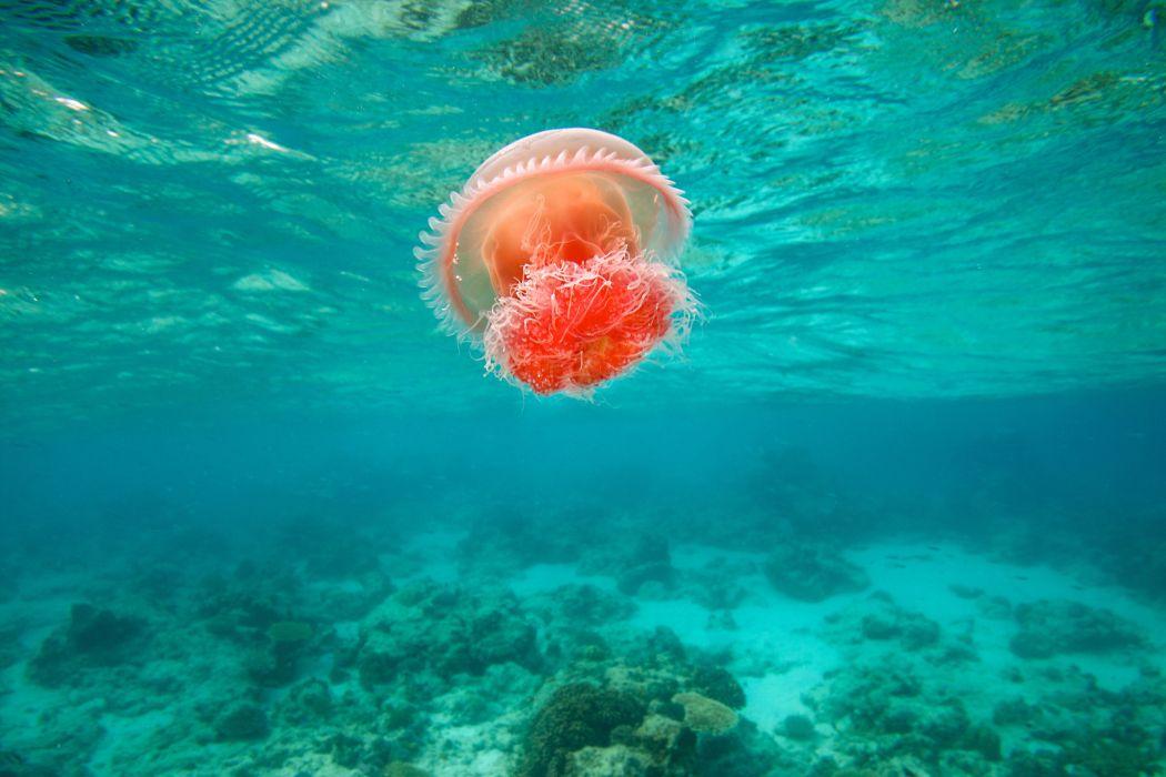 jellyfish underwater ocean sea bokeh jelly (77) wallpaper