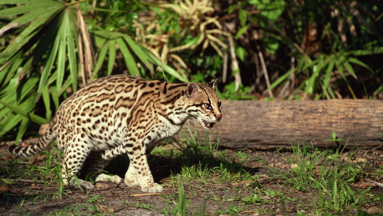 animals grass ocelots tree trunk wallpaper