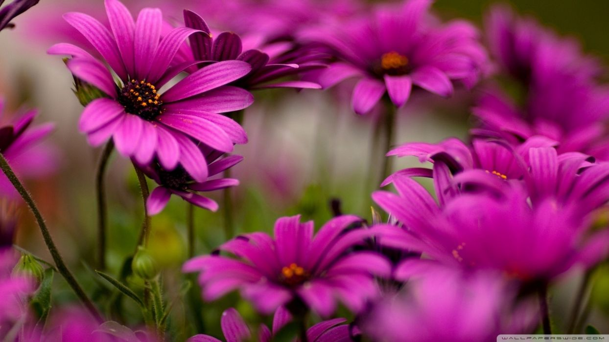 nature flowers pink flowers daisies wallpaper
