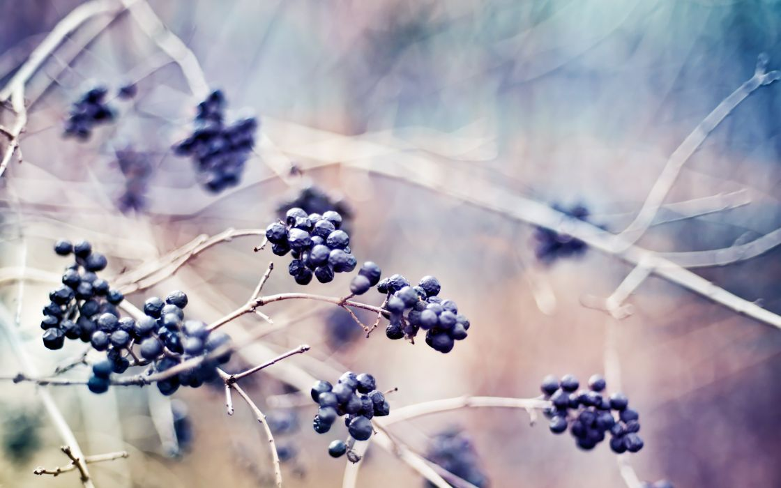 depth of field berries branches wallpaper