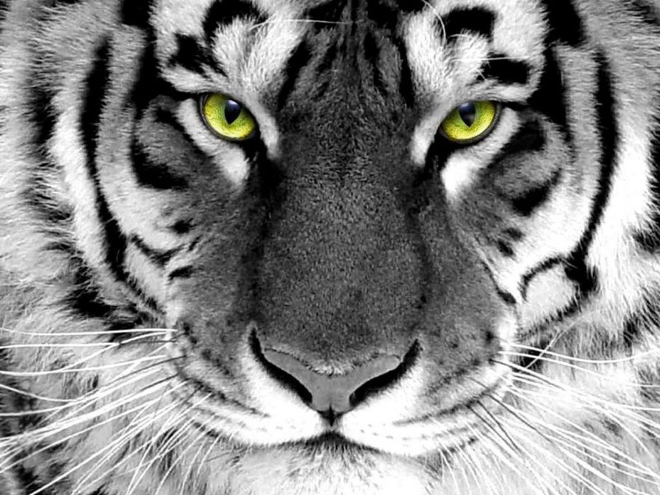 animals tigers selective coloring wallpaper