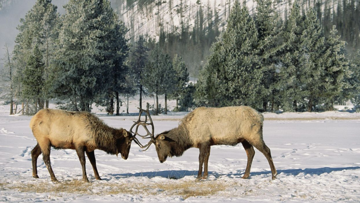 Wyoming Yellowstone elk National Park wallpaper
