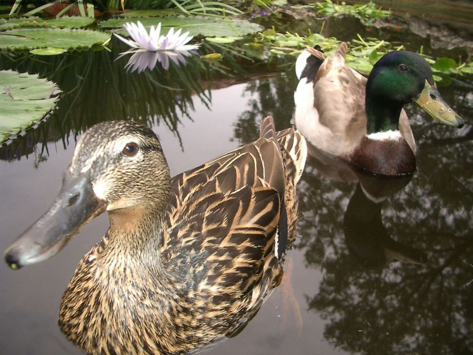 nature birds ducks mallard wallpaper