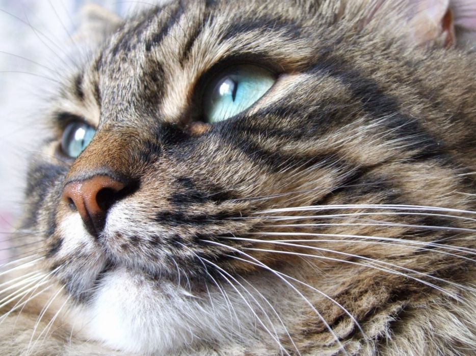 blue eyes animals muzzle wallpaper