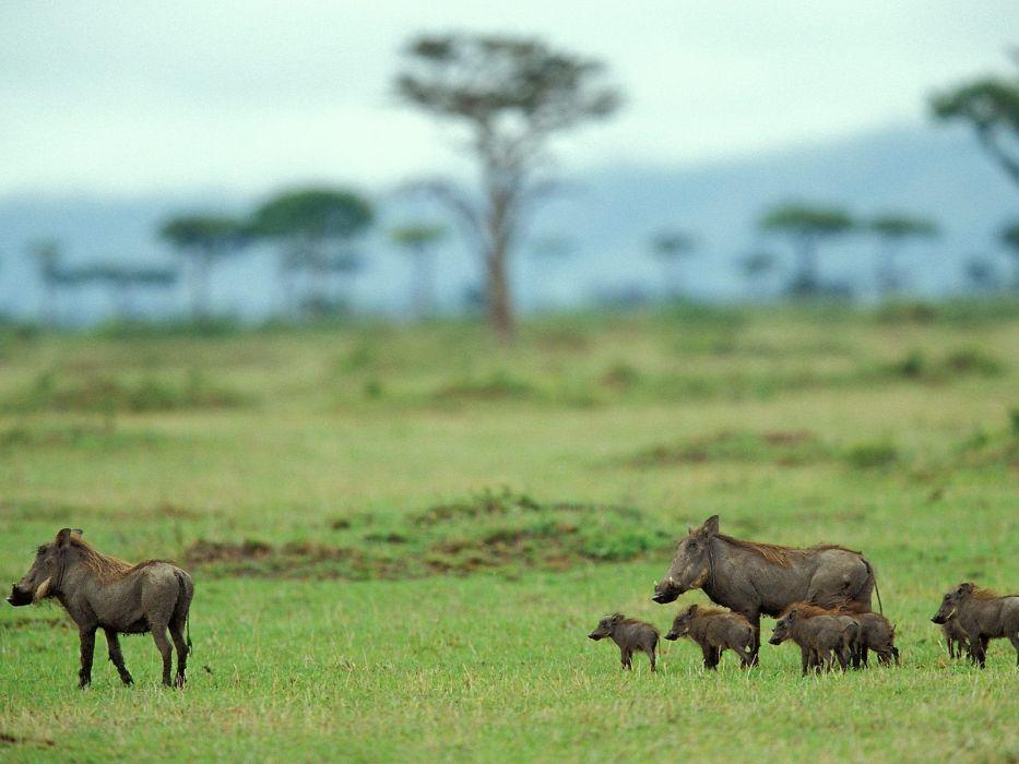 nature trees family wildlife Warthog mara pigs Kenya wallpaper