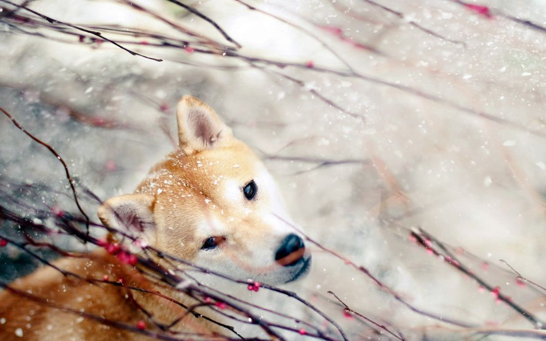nature snow animals dogs berries wallpaper