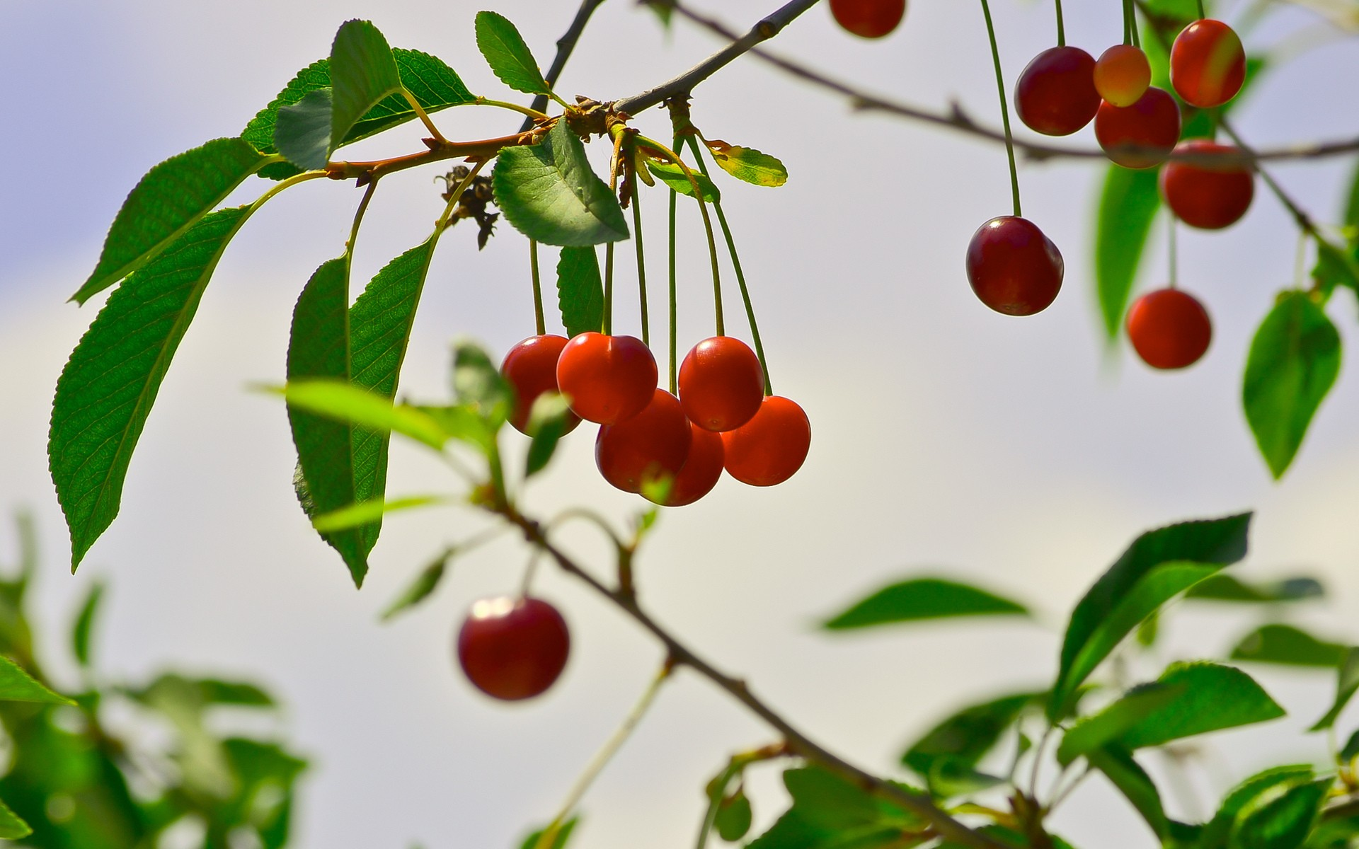 Fruits leaves depth of field fruit trees wallpaper ...