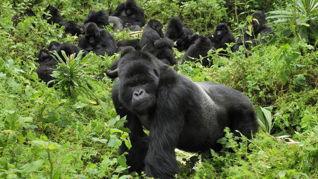 mountains gorillas National Park wallpaper