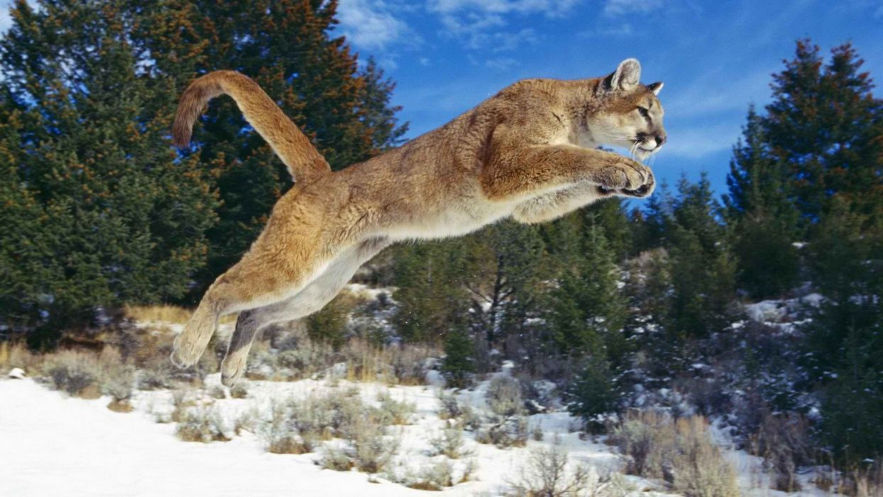animals jumping puma cougars mountain lions wallpaper