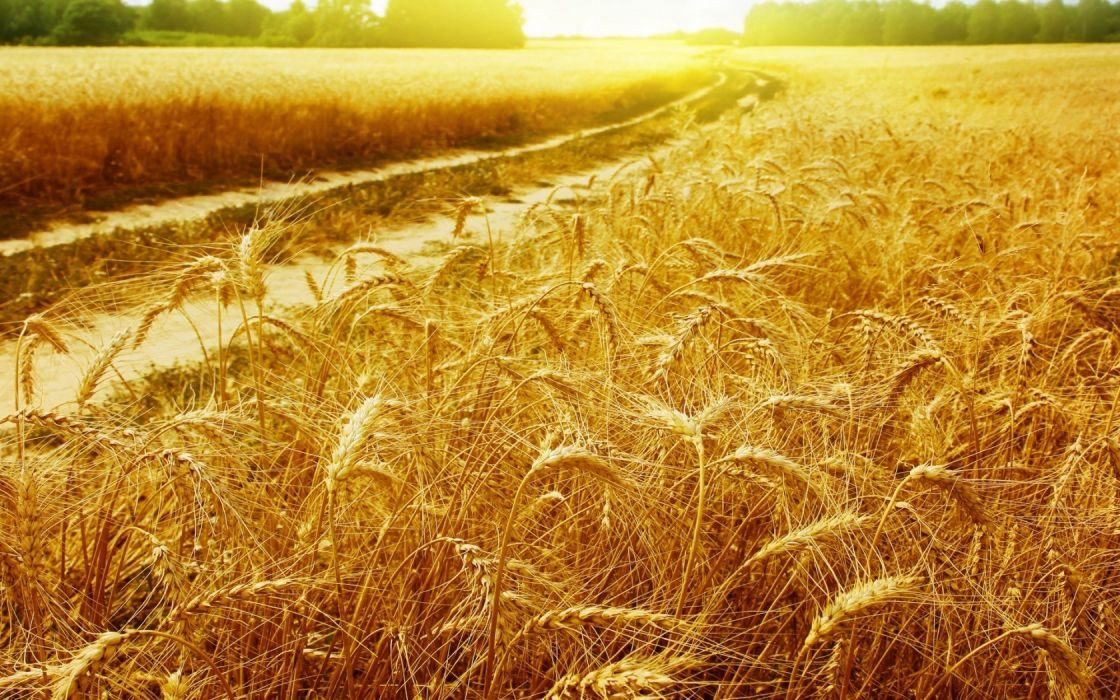 nature wheat plants widescreen wallpaper