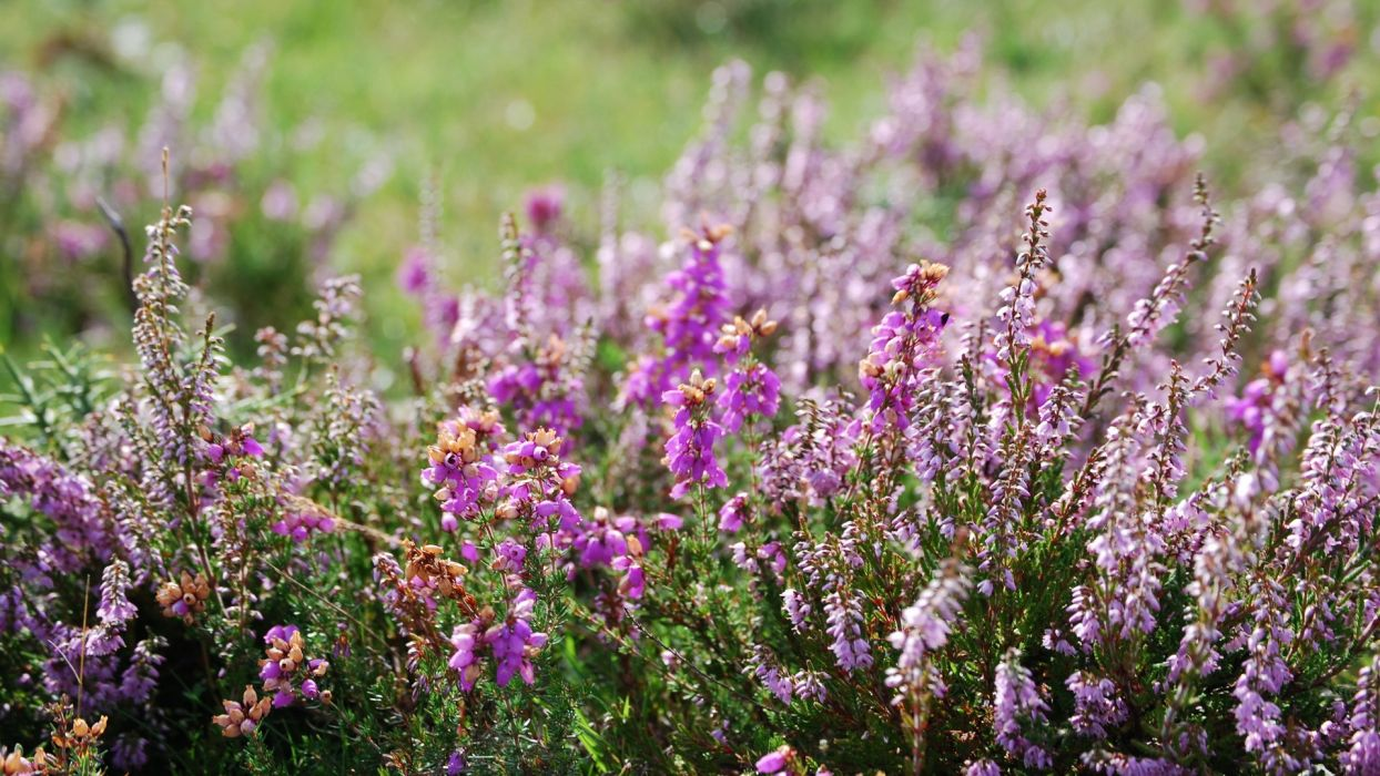 nature flowers heather (plant) wallpaper