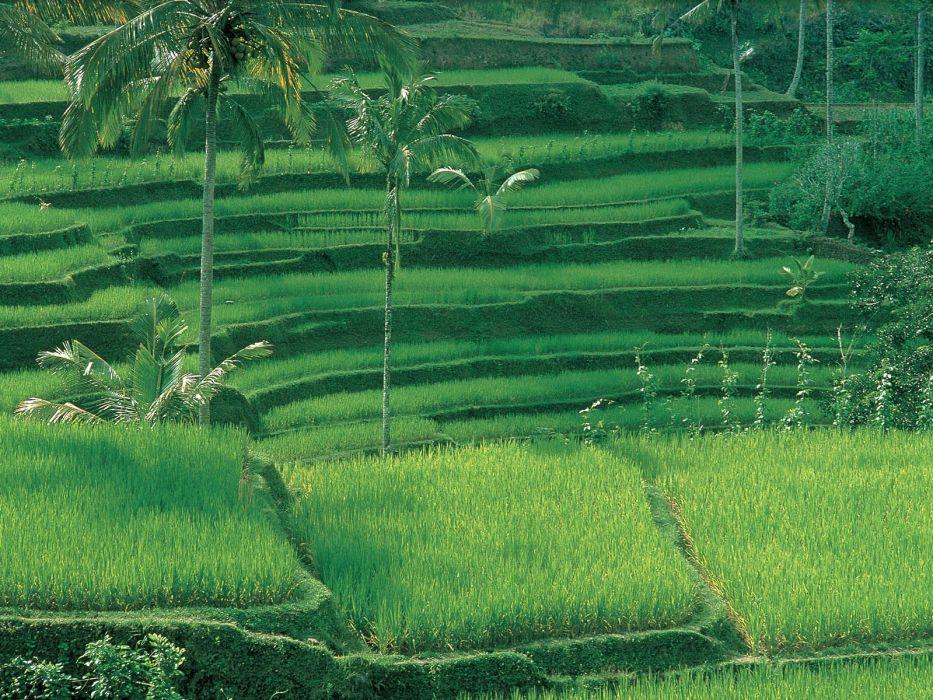 green rice Indonesia bali wallpaper