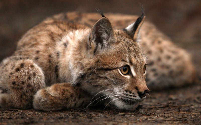 nature animals lynx depth of field wallpaper