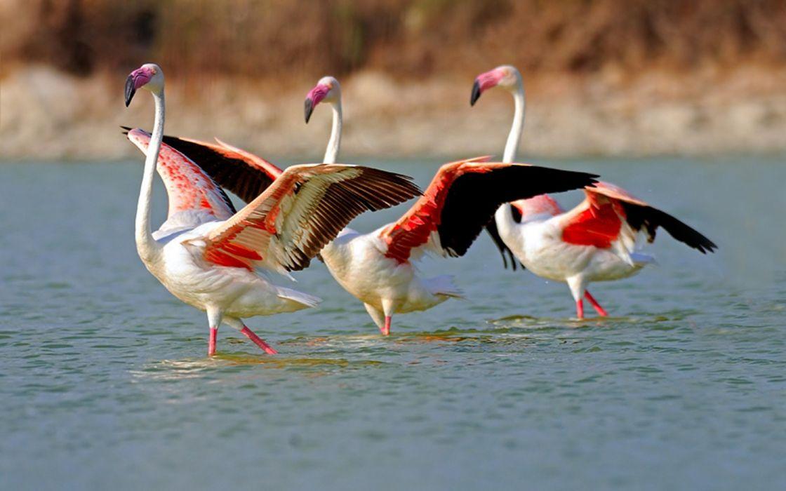 birds flamingos wallpaper