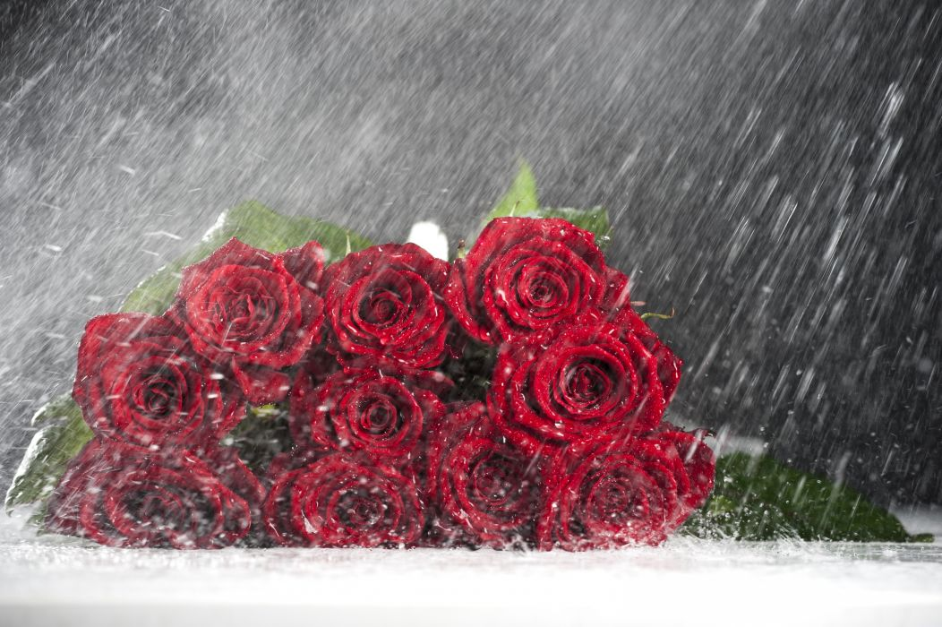 roses buds rain drops valentine wallpaper